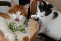 Pasiūlymas: jei patiko šie kačiukai, skambinkite tel. 8 605 36 358 – jų, buvusių benamių, globėja nori jiems surasti jautrius šeimininkus. (du garžūs kačiukai)