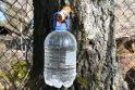Skonis: pavasariui įsibėgėjant, ištroškusieji salstelėjusio medžių sulčių skonio jau mėgina tekinti klevų sulą, vėliau pradės tekėti ir beržų sula.