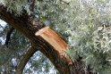 Požiūris: kai kuriuos gamtos brangintojus siutina net nupjautos medžių šakos.