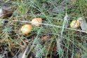 Miškai jau vilioja grybais