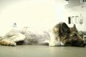 Už dvesiančio šuns gydymą – problemos su policija