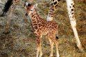 Budapešto zoologijos sodas džiaugiasi savaitės amžiaus žirafa