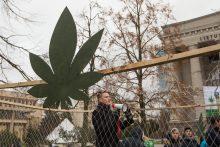 Prie Seimo kanapių entuziastai rengia Kanapių kultūros dieną