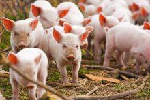 Lenkija leis įvežti gyvas kiaules iš Lietuvos