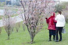 Vilniuje skleidžiasi pirmieji sakurų žiedai