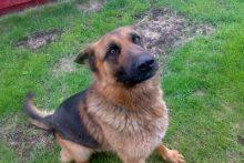 Kinologė: tarnybiniai šunys į svetimų žmonių komandas reaguoja priešingai