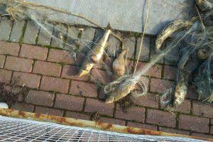 Kuršių marių krantinėje – žuvų gaišenos