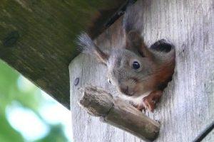 Apsukri voverė išvarė varnėnus ir apsigyveno inkile