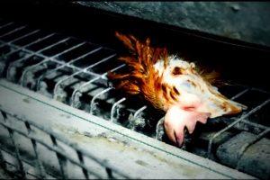 Vaizdai šokiruoja: paukštynuose auginamos vištos laikomos baisiomis sąlygomis