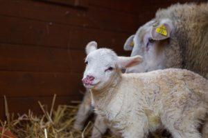 Prakartėlėje apsigyveno avis ir ėriukai