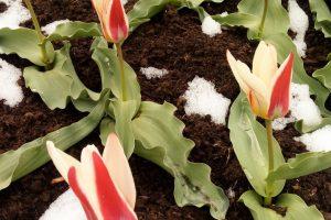 Gausi tulpių kolekcija gamtos pokštų neišsigąs