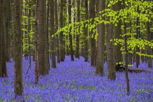 Pasakiškas Belgijos miškas tampa savo grožio auka
