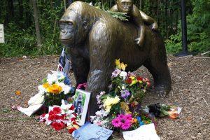 Zoologijos sode į gorilų narvą įkritusio vaiko tėvams kaltinimai nebus pateikti