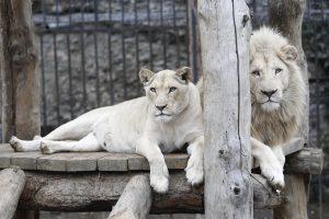 Zoologijos sode nušauti du liūtai, gelbėjant į jų aptvarą įšokusį savižudį