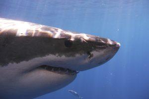 Australijoje ryklio apdraskytas nardytojas sveiksta
