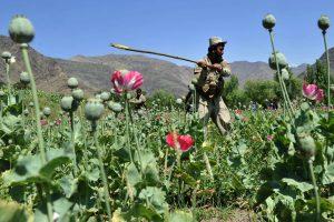JT ataskaita rodo, kad Afganistane išaugo opijinių aguonų auginimo mastai