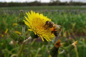 Kelmės rajone mirė bičių sugeltas vyras