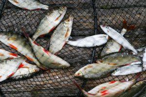 Minijoje Plungės rajone išgaišo žuvys