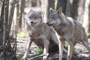 Lietuvos miškuose bus skaičiuojami vilkai ir lūšys