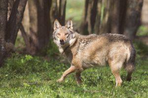 Anykščių rajone leista sumedžioti keturis vilkus