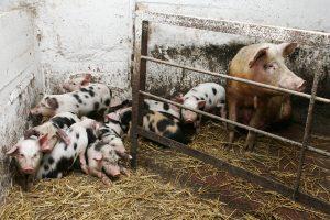 Afrikinis kiaulių maras: ginklai nesudėti ir kova dar nebaigta