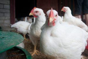 Veganiškos mitybos mada paukščių ir gyvulių Lietuvoje negelbėja