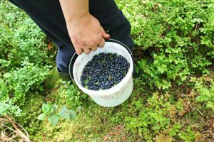 Prognozuojamas labai prastas mėlynių derlius