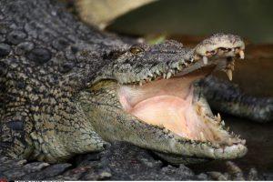 Londono oro uoste konfiskuota 50 gyvų krokodilų