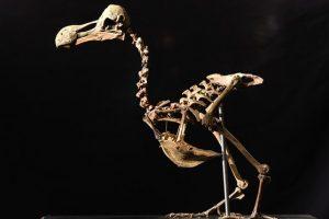 Parduotas senovinio paukščio dodo skeletas