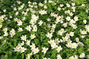 Pasiilgę pavasario kviečiami į Plukių žydėjimo šventę