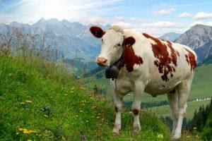 Austrijoje karvėms kabins ne varpelius, o GPS seklius