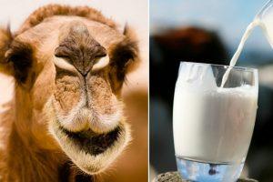 Kupranugarių pienas: ar nauda sveikatai reali?