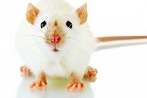 Trijų tėvų genai pailgino pelių gyvenimo trukmę