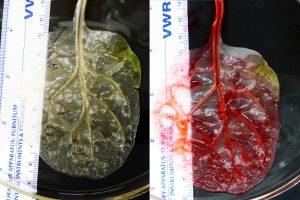 Mokslininkai pradėjo auginti žmogaus širdies audinį... špinatuose