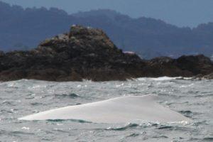 Prie Australijos krantų pastebėtas baltas banginis, kurių pasaulyje – vos 3