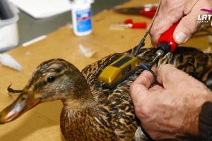 """""""Mokslo sriuba"""": paukščių žiedavimą pakeitė moderniosios technologijos"""