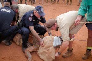 Australijos policija sugavo milžinišką galvijus puldinėjusį krokodilą