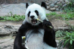 Pandos iš nykstančių gyvūnų sąrašo išbrauktos per anksti?
