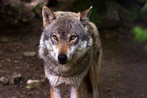 """Norvegijos leidimas """"masiškai skersti"""" vilkus piktina aplinkosaugininkus"""