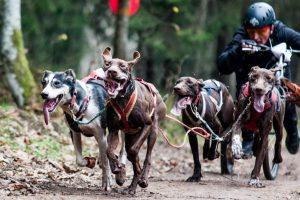 Pakaunės mišką skrodžia šunų kinkiniai