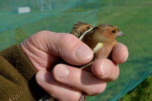 Paukščių žieduotojams – pats darbymetis