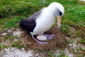"""Rekordas: 67 metų albatroso patelė dar kartą """"taps motina"""""""
