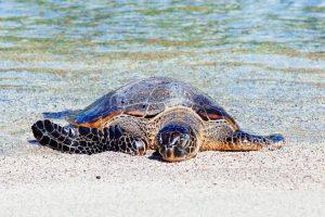 Vėžlio skrandyje rastas plastikas išryškino užterštų jūrų problemą