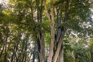 Europos metų medžio rinkimuose – Raudonės pilies liepa