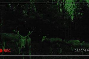Nufilmavo miške šventiškai smaližiaujančius elnius