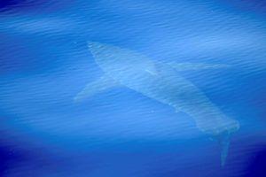 Netikėtai pasirodęs baltasis ryklys pradžiugino mokslininkus