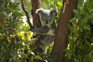 Perspėja: koalos gali išnykti