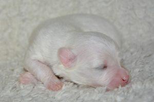 Neįmanoma likti abejingiems: kaip gimsta šunų jaunikliai