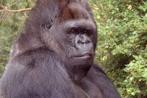 Nugaišo ženklų kalbą mokėjusi gorila Koko