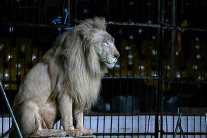 Nelaimė Rusijos cirke: liūtė sudraskė mergaitei veidą